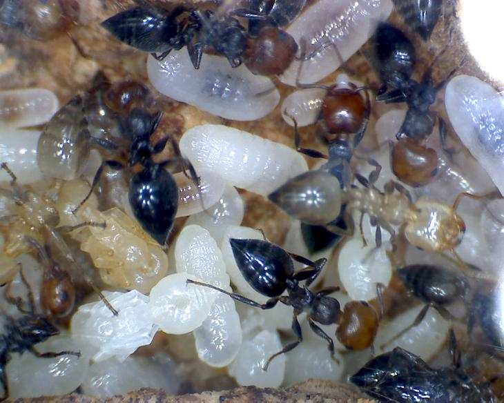 Crematogaster scutellaris brood